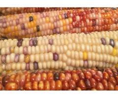 فروش بذر ذرت رنگی باقیمت استثنایی سال 96