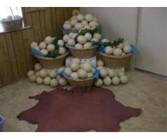فروش تخم بوقلمون   شرکت زرین توتک