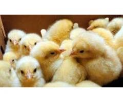 _فروش ویژه ی جوجه مرغ گوشتی کلیه نژادها(کاپ-راس-هوبارد)