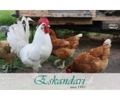 فروش جوجه مرغ بومی و محلی در کلیه سنین از یک روزه تا 6 ماهه ارسال به سرار کشور